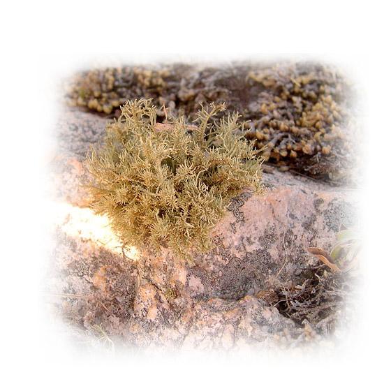 Yerba de la Piedra-1
