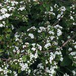 espino blanco
