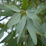eucaliptus mentolado