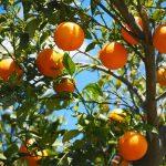 naranjo hojas